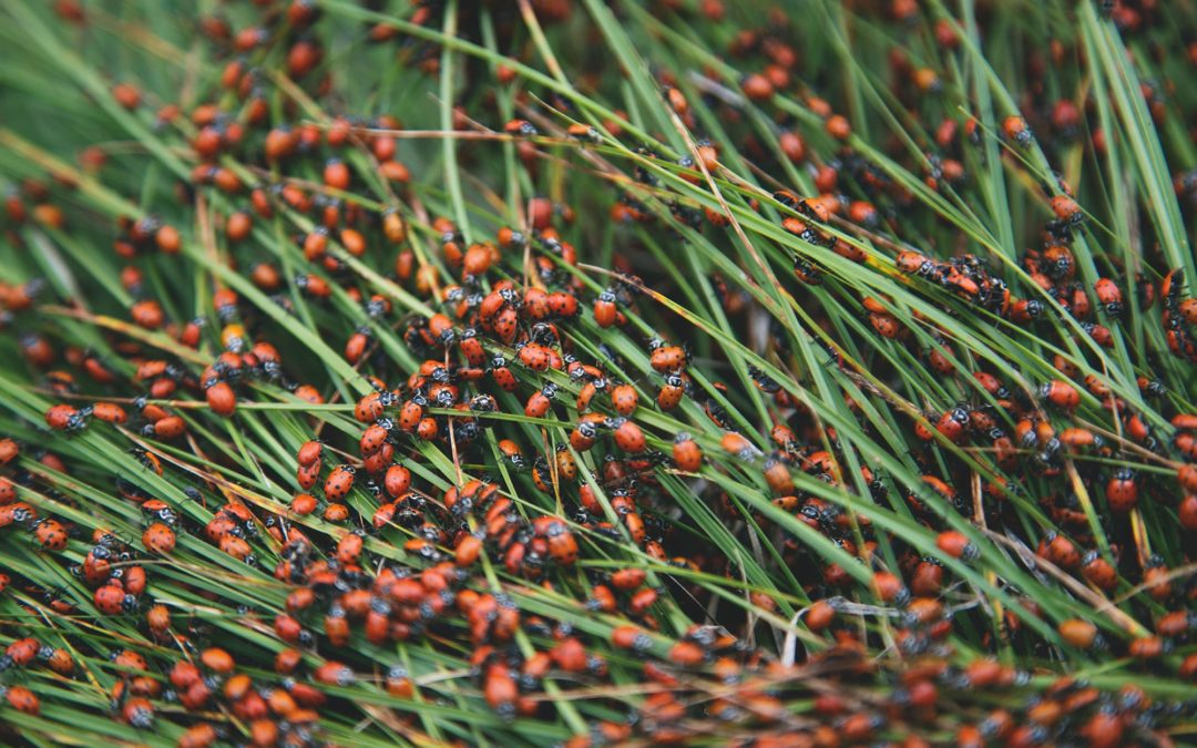 Pests and plumbing problems go hand in hand. So, odds are, when you see too many insects or rodents in one spot, it's time to check for a leak. A large congregation of ladybugs in the grass.